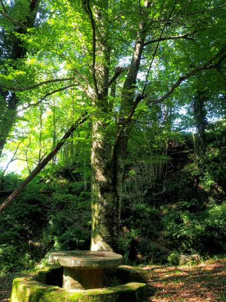 Montseny natural park | noticeable beech tree