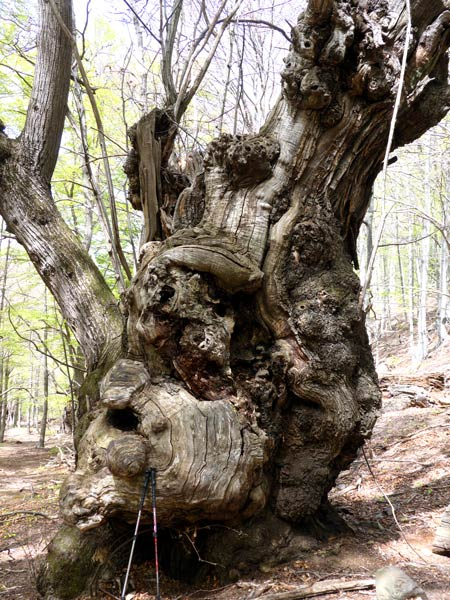 Montseny natural park tour | noticeable chestnut
