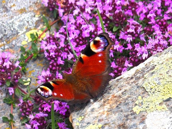 Montseny natural park | singular butterfly